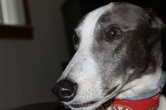 Adult Black and White Male Greyhound. Greyhound dog profile stock photography