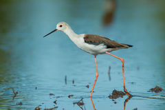 Adult Black-winged Stilt(Himantopus himantopus ) Stock Photography