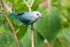 Blue-gray tanager. Adult Blue-gray tanager on a branch in Costa Rica Stock Photos