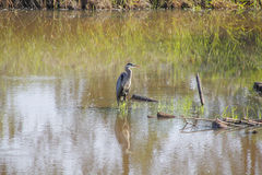 Adult Blue Heron in Marsh Royalty Free Stock Photos