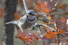 Adult blue jay cyanocitta cristata. Colorful adult blue jay cyanocitta cristata perched on a tree branch on a background of colorful oak leaves Royalty Free Stock Photo