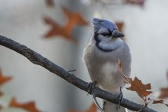 Adult blue jay cyanocitta cristata. Colorful adult blue jay cyanocitta cristata perched on a tree branch on a background of colorful oak leaves Stock Photos