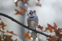 Adult blue jay cyanocitta cristata. Colorful adult blue jay cyanocitta cristata perched on a tree branch with a smooth background of colorful oak leaves Royalty Free Stock Photography
