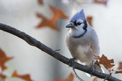 Adult blue jay cyanocitta cristata Royalty Free Stock Image
