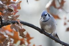 Adult blue jay cyanocitta cristata. Colorful adult blue jay cyanocitta cristata perched on a tree branch with a smooth background of colorful oak leaves Stock Images