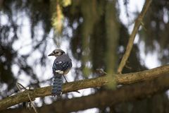 Blue jay perched on a branch Royalty Free Stock Photo