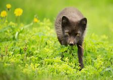 Adult blue morph arctic fox in the meadow. With flowers, summer in Hornstrandir, Iceland Stock Image