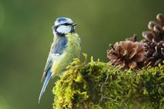 Adult Blue Tit (Cyanistes caeruleus). Adult male Blue Tit on a mossy surface with pine cones - sideview Stock Photos