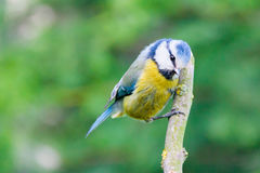 Adult blue tit Royalty Free Stock Image