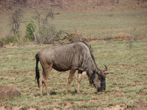 Adult Blue Wildbeest Royalty Free Stock Photos