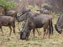 Adult Blue Wildbeest herd Stock Photography