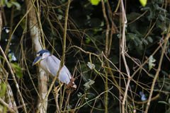 Adult Boat-billed Heron Perching Amongst Jungle Vines Royalty Free Stock Photography