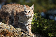 Adult Bobcat. Closeup of a curious Bobcat against a blurred background Stock Photography