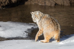 Adult Bobcat. An adult wild bobcat near mountain stream Stock Photos