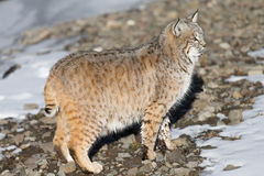 Adult Bobcat. An adult wild bobcat near mountain stream Stock Images