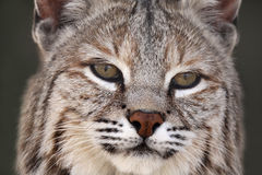 Adult Bobcat. Closeup of a Bobcat against a blurred background Stock Images