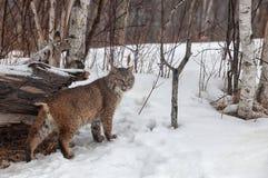 Bobcat. Adult bobcat looks over his shoulder.  Winter in Minnesota Royalty Free Stock Image