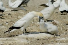 Adult booby feeding its chick Stock Image