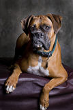 Adult Boxer Portrait. A low-key portrait of a fawn colored Boxer dog Royalty Free Stock Images