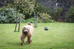 Adult briard dog in yard Royalty Free Stock Images