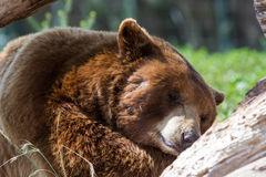 Adult brown bear. Resting mid day under bright warm sunshine in South Dakota Royalty Free Stock Image