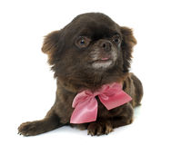 Adult brown chihuahua Stock Photos