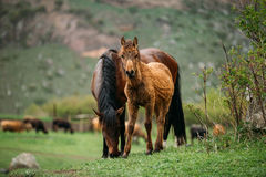 Adult Brown Horse And Foal Young Horse Grazing On Green Mountain Stock Photos
