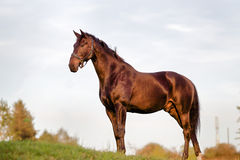 Adult Brown Horse Royalty Free Stock Photo