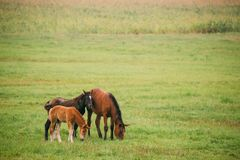 Horse And Two Foals Young Horses Grazing On Green Meadow Near River In Summer Season. Belarus stock image