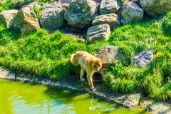 Adult brown orange monkey walking on a hill with rocks and water. A adult brown orange monkey walking on a hill with rocks and water royalty free stock photography