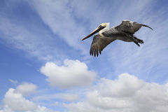 Adult Brown Pelican Soaring in a cloudy sky Stock Photos