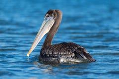 Brown pelican in Morro Bay California Royalty Free Stock Image