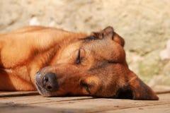 Adult brown red dog lying eyes closed. Belgian Malinois Shepherd sleeping on a wooden floor stock photos