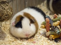 Teddy Guinea Pig on wood shavings with toys royalty free stock photography