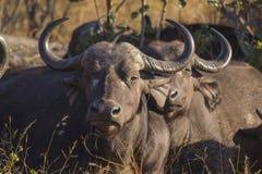 Adult buffalo portrait 2 Royalty Free Stock Image