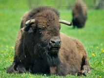 Adult buffalo resting on grass Stock Image