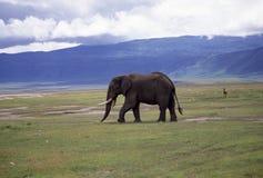 Adult bull elephant Stock Photos