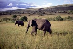 Adult bull elephant Stock Images
