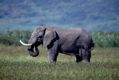 Adult bull elephant Royalty Free Stock Photos