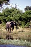 Adult bull elephant Stock Photo