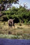 Adult bull elephant Stock Photography
