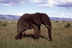 Adult bull elephant in field Stock Images