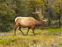 Adult Bull Elk Royalty Free Stock Photo