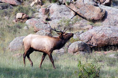 Adult bull elk bugling Royalty Free Stock Photography