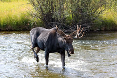 Adult Bull moose with shedding velvet antlers crossing creek in Wyoming America Stock Photos