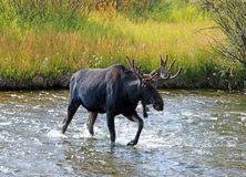 Adult Bull moose with shedding velvet antlers crossing creek in Wyoming USA Royalty Free Stock Photography