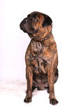 Adult Bulmastiff Sitting Stock Images