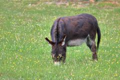Adult Burrow Grazes in Meadowland Royalty Free Stock Photography