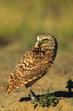 Adult Burrowing Owl Stock Images