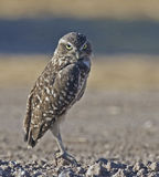 Adult Burrowing Owl, Athene cunicularia Stock Images